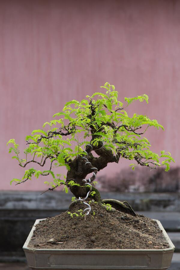 Bonsai Vietnam : bonsai, vietnam, Bonsai, Trees, Vietnam, Photos, Royalty-Free, Stock, Dreamstime