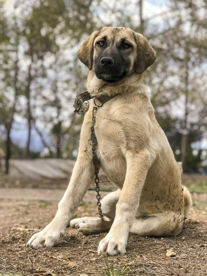 Download and use 10000+ kangal shepherd dog stock photos for free. 523 Kangal Dog Photos Free Royalty Free Stock Photos From Dreamstime