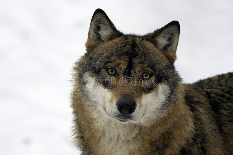 Animal Face Wallpaper Young Brown And White Wolf Stock Image Image Of Canine