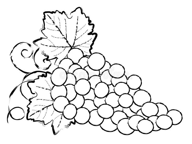 Zeichnung der Trauben vektor abbildung Illustration von