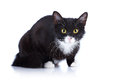 Black and white cat cat with yellow eyes cat on a white background black cat house predator small predatory animal Stock Image