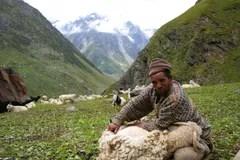喜馬拉雅綿羊剪床 編輯類庫存照片 - 圖片: 39472208