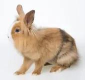 小的棕色兔子 庫存圖片. 圖片 包括有 少許, 野兔, 哺乳動物, 頰須, 敵意, 毛皮, 蓬松, 隔離 - 29419059