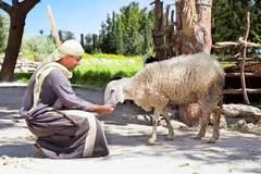 牧者結轉他的綿羊 免版稅庫存照片