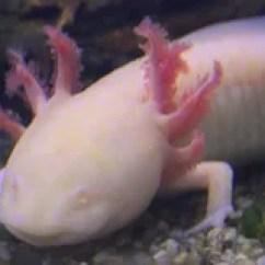 Kitchen Salamander Sinks Stainless Steel 墨西哥蝾钝口螈属mexicanum 影视素材 视频包括有水下 野生生物 空白 蝾螈 墨西哥蝾钝口螈属mexicanum或墨西哥走的鱼