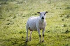 Apenas carneiros tosquiado que estão na grama Foto de Stock Royalty Free