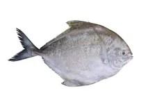 Black Pomfret Fish Isolated Stock Photo Image of