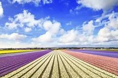 Felder Der Blumen In Holland Stockfoto  Bild 28296690