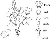 Coloring Page With Life Cycle Of Siberian Squill Or Scilla