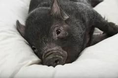 Ein Nettes Kleines Schwarzes Schwein Stockbild  Bild