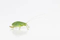 Female Green Katydid Stock Photo Image 57958983
