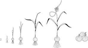 Plant growth in stages stock illustration. Illustration of