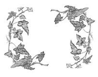 Ivy border stock photo. Image of botany, macro, frame