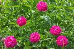 Helle Groe Rosen Und Andere Blumen Gemalt Auf Einem