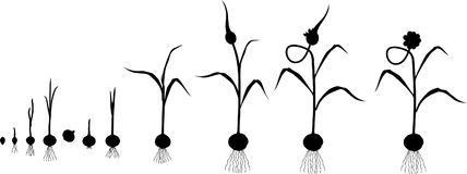 Plant Growth Stages Stock Illustrations