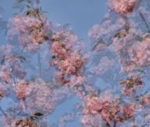 Japanese Cherry Blossom Abstract Wallpaper Stock Image
