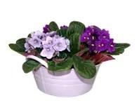 Campanula Plant Royalty Free Stock Photos Image 18632318