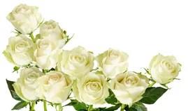 Weie Rosen Getrennt Auf Dem Weien Hintergrund Stockbild