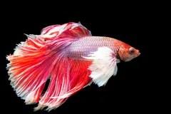Schne Rote Fische Lizenzfreie Stockfotografie  Bild 6982487