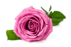 Jasmine Flower On White Background Stock Photo Image of