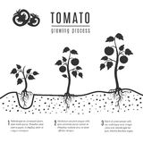 Tomato plant growth cycle stock vector. Illustration of