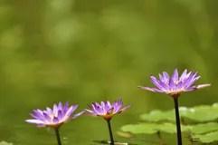 trois-fleurs-de-lotus-15596678.jpg
