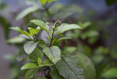 Tulsi Plant Hd Wallpaper Tulsi Plant In Foundation Free Stock Images Amp Photos