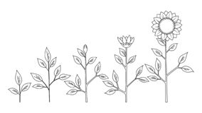 Stages Plant Growth Stock Illustrations