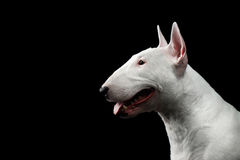 Bull Terrier Puppy Royalty Free Stock Images Image 6205739