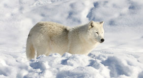 wolf snow winter arctic female nature