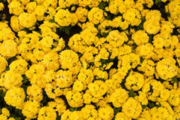 Chinese Flower Symbolism The Chrysanthemum The Daily China