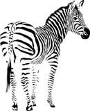Zebra stock vector. Illustration of background, material