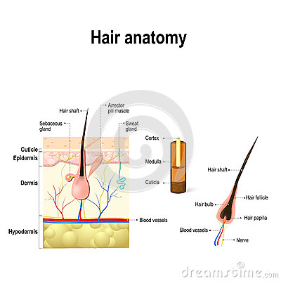 skin cross section diagram fcu thermostat wiring honeywell of a hair follicle in layers