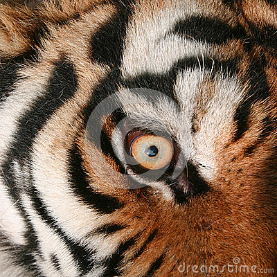 老虎眼睛 庫存照片 - 圖片: 28266353