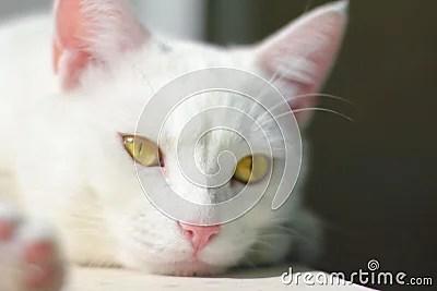animal cat kitten cat white cat cat portrait yellow eyes nose lying on a white
