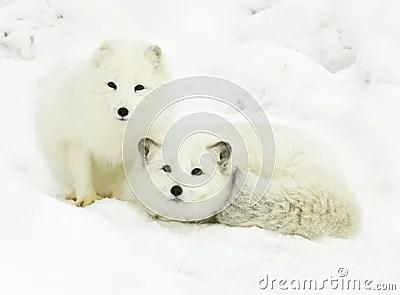 Falls Wallpaper Download Arctic Fox Pair Stock Images Image 13145014