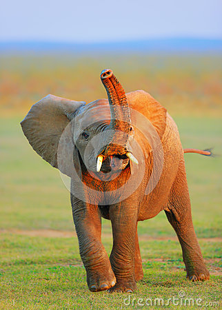 Baby Elephant  Raised Trunk Royalty Free Stock Photo