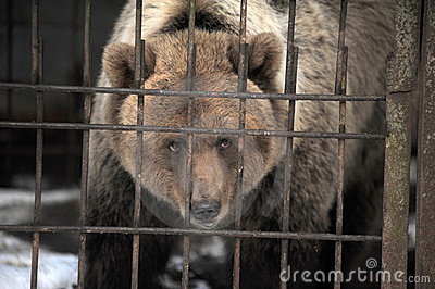 Bear In A Cage Royalty Free Stock Images  Image 22927999