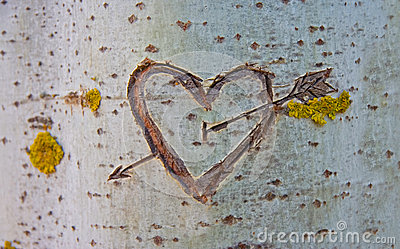 Birch Tree With Carved Heart Stock Photo Image 42526113