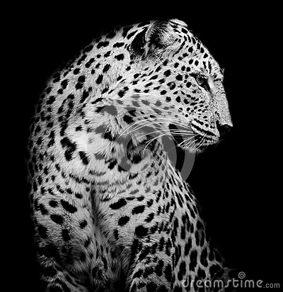 Black Leopard Hd Wallpaper Black And White Side Of Leopard Stock Photo Image 47917112