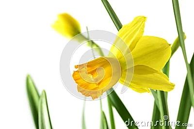 Blume Gelben Narzisse Narzisse Pseudonarcissus Mit Urlaub