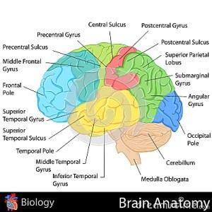 Brain Anatomy Stock Images  Image: 31606304