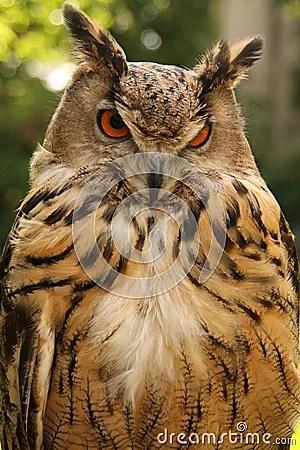 Brown Owl Stock Photography  Image 15186102