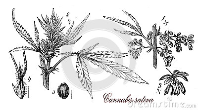 Cannabis Sativa,botanical Vintage Engraving Stock