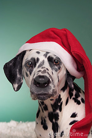 Christmas Dalmatian Royalty Free Stock Photo  Image 16441745