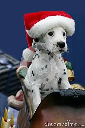Christmas Dalmatian Puppy Wearing Santas Hat Royalty Free