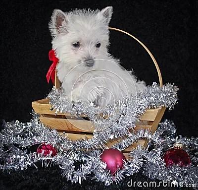 Christmas Westie Royalty Free Stock Photos Image 21318708
