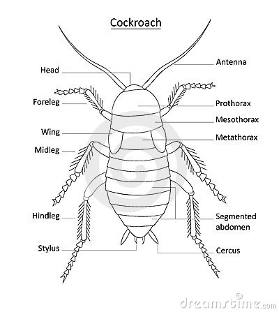 Cockroach Anatomy- Line Art With Labels On White Royalty