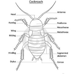 Hissing Cockroach Diagram 12v 30a Relay 4 Pin Wiring Of The Male Reproductive System, Diagram, Free Engine Image For User Manual Download