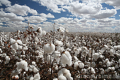 3d All Wallpaper Free Download Cotton Field Royalty Free Stock Photography Image 8208627